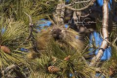 Prickly Fellow (NikonDigifan) Tags: porcupine animal mammal nature naturephotography wildlife wildlifephotography wildliferefuge turnbullnationalwildliferefuge washington pnw pacificnorthwest nikon nikond750 nikon20050056 mikegassphotography