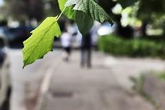 A Sidewalk (Grenoble, France) (Haytham M.) Tags: sigma1770mm canont7i france grenoble spring pedestrian sidewalk street tree leaves leaf