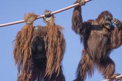 Don't look down! (Tim Brown's Pictures) Tags: washingtondc nationalzoo smithsonian zoo zoos park outdoors rockcreek animals mammals endangeredspecies primates orangutan greatapes orangutans motherbabyorangutan batang redd washington dc unitedstates