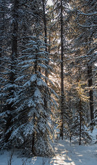 Magic forest in Maligne Lake (Guldenfels-photos) Tags: johnston canyon icefield columbia canada pvt 2019 ice glacier eau neige snow blue white forest iamnikon