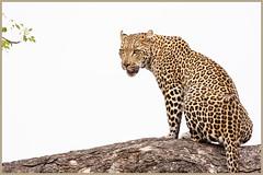 Say What _082 (1400x933) (David B Olsen) Tags: leopard nature wildlife wilderness krugernationalpark marula tree canon100400mm canon40d
