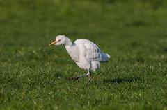 Cattle Egret-7521 (seandarcy2) Tags: egret cattleegret cattle heron birds wild wildlife handheld herts uk urbanbirding