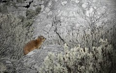 BntHvxSWRMGXIsyZGOMSCw_thumb_b740 (GTraveller74) Tags: africa cape town table mountain animal nature wildlife