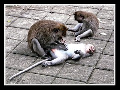 le dépouilage de bebe singe (remove lice baby monkey) (hcortade) Tags: travel voyage monde world coth5 bali asie ubud singe monkey baby bébé animal famille family marron brown nature temple