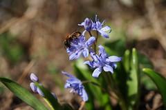 Premier butinage (passionpapillon) Tags: macro fleur flower insecte nature color bokeh interst abeille scilleàdeuxfeuilles passionpapillon 2019 ngc