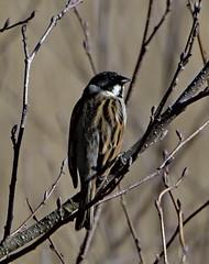 Reed Bunting 5 Mar 2019 (Tim Harris1) Tags: nikond7100 nikkor80400afs sculthorpemoor norfolk birds reedbunting