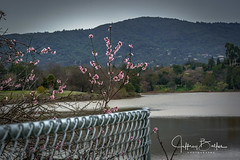 Fence with spring blossoms (Jeffrey Balfus (thx for 4 Million views)) Tags: 90mmf28macrogossprimelensmacrosel90m28gfences sonya9mirrorless sonyilce9 sonyalpha fullframe saratoga california unitedstates us 90mm f28 macro g oss prime lens sel90m28g fencessony a9 mirrorless