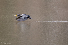 FM5A0286 (Kemp Davis) Tags: wildlife nature aquaticbird cormorant