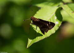 Skipper? Not Sure What Kind (sciencensorcery) Tags: florida nature oaklandnaturepreserve insects animals butterflies skippers
