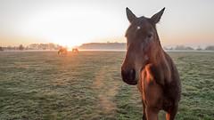 de près et de loin (françoispeyne) Tags: enfrance igny météo animaux sunset chevaux soleil matin brûme