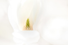 écrin de douceur (christophe.laigle) Tags: christophelaigle fleur macro soft blanc nature flower magnolia douceur softness fuji xpro2 xf60mm white