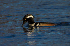 2019.03.05.6604 Hooded Merganser (Brunswick Forge) Tags: 2019 virginia salem grouped nikond500 nikkor200500mm evening sunset bird birds animal animals animalportraits nature wildlife winter water river outdoor outdoors favorited