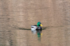 ashleyreservoir2019-24 (gtxjimmy) Tags: nikond7500 nikon d7500 tamron 150600mm newengland holyoke massachusetts watersupply reservoir duck mallard bird