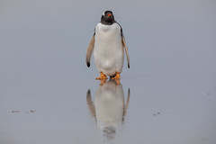 On Reflection..... (Linda Martin Photography) Tags: gentoopenguin bird saundersisland wildlife southatlanticocean falklandislands pygoscelispapua nature naturethroughthelens coth ngc alittlebeauty specanimal coth5