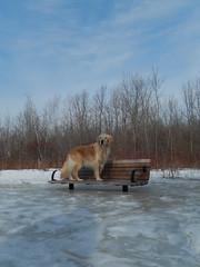 Sunny 12/52 (Lianne (calobs)) Tags: 52 weeks for dogs goldenretriever