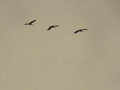 Sandhill Cranes 1 (D. S. Hałas) Tags: halas hałas canada ontario haltonregion haltoncounty oakville memorialpark chordata sarcopterygii aves gruiformes gruidae antigonecanadensis gruscanadensis sandhillcrane crane bird