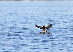 "Male Mallard in flight 4 • <a style=""font-size:0.8em;"" href=""http://www.flickr.com/photos/30765416@N06/47429805862/"" target=""_blank"">View on Flickr</a>"