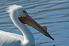 American White Pelican 19-3503 (Hans Spiecker Photography) Tags: americanwhitepelican california sepulvedadam