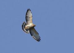 Broad-winged Hawk_19-03-01_WDC_0343AM2 (Langham Birder) Tags: cuba broadwingedhawk