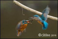 Fight AF7O0626 (David E Cassells) Tags: king fisher kingfisher commonkingfisher alcedoatthis eurasiankingfisher fish bird eurasian nature photography canon1dx canonef300mmf28lisiiusm northern ireland alcedo atthis animal males fighting fight