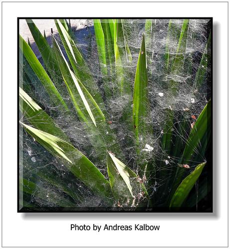 Andreas Kalbow Opuntienspinne Cyrtophora citricola 2019.03.10 Madeira (4)