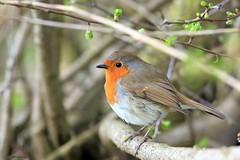 robin J78A0206 (M0JRA) Tags: robins birds humber ponds lakes people trees fields walks farms traylers