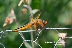 SCARCE-CHASER-DRAGONFLY-27-5-18-RSPB-STRUMPSHAW-FEN-(3) (Benn P George Photography) Tags: rspbstrumpshawfen 27518 bennpgeorgephotography rspb scarcechaser dragonfly chaser nature fens norfolk norwich nikon nikond7100 nikon200500 d7100