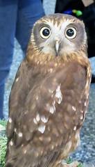Jensen (billnbenj) Tags: barrow cumbria owl tawnyowl raptor birdofprey
