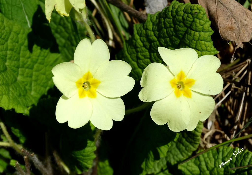 """Águas Frias (Chaves) - ... flores campestres - as """"páscoas"""" - Primula vulgaris Huds. - Primrose  Phylum: Magnoliophyta - Class: Equisetopsida - Order: Primulales - Family: Primulaceae"""
