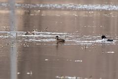 fanniestebbins2019-25 (gtxjimmy) Tags: nikond7500 nikon d7500 tamron 150600mm spring massachusetts newengland birds bird longmeadow fanniestebbinswildlifesanctuary duck ringneckedduck