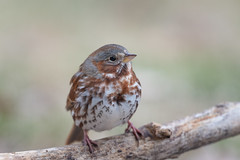 Fox Sparrow-40786.jpg (Mully410 * Images) Tags: bird birdwatching birding foxsparrow backyard birds birder sparrow
