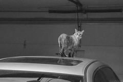 Come in? (geophotocacher) Tags: jimi mdrokkorx50f14 mammals cats fauna cat feline mammalia caturday monochrome bw