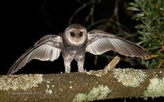 Sooty New Year (JimsWalks) Tags: bunyip sooty owl spotlighting owling night nocturnal forest display sootyowl threatened endangered rare tyto tytotenebricosa