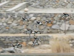 Tufted Duck (Aythya fuligula) (gilgit2) Tags: avifauna birds borit canon canoneos7dmarkii category fauna feathers geotagged gilgitbaltistan gojal imranshah location pakistan species tags tamron tamronsp150600mmf563divcusd tuftedduckaythyafuligula wildlife wings gilgit2 aythyafuligula