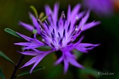 Flor lila (EFD-fotolab) Tags: nikond610 españa macro macrofotografia nikon naturaleza invierno flores flowers