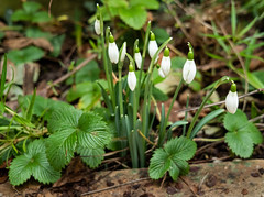 010-2019-365-(1106) Snowdrops amongst the wild strawberry plants (Explored) (graber.shirley) Tags: january winter plants