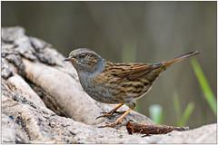 Passera scopaiola (Fausto Deseri) Tags: dunnock prunellamodularis passerascopaiola wildlife nature birds wild parcodellapiana nikond500 nikkor300mmf28afsii nikontc17eii faustodeseri