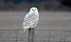 FGR_8319 (frodin78) Tags: snowyowl owl birds nature wildlife raptors birdsofprey