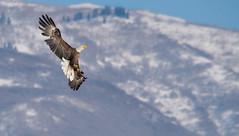 Bald Eagle in Flight4 (1 of 1) (Jami Bollschweiler Photography) Tags: bald eagle flight bird photography utah wildlife photographer