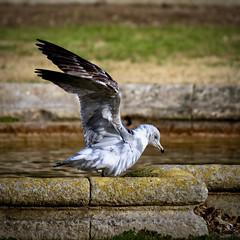 Gabian 3 (thierrybalint) Tags: oiseau bird gabian balint thierrybalint nikon nikoniste eau water nature faune oiseaudemer ailes wings parc borely marseille