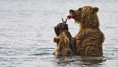 Give me a piece, Mom!!! (paolo_barbarini) Tags: bears orsi salmon salmone mother mom mamma food cub cucciolo eat mangiare cibo kamchatka kuril lake russia wildlife animals animali nature natura