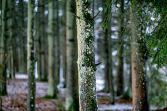 Le vent du Nord (Fabrice Gillet) Tags: wind snow forest leaves trees pineneedles nature winter