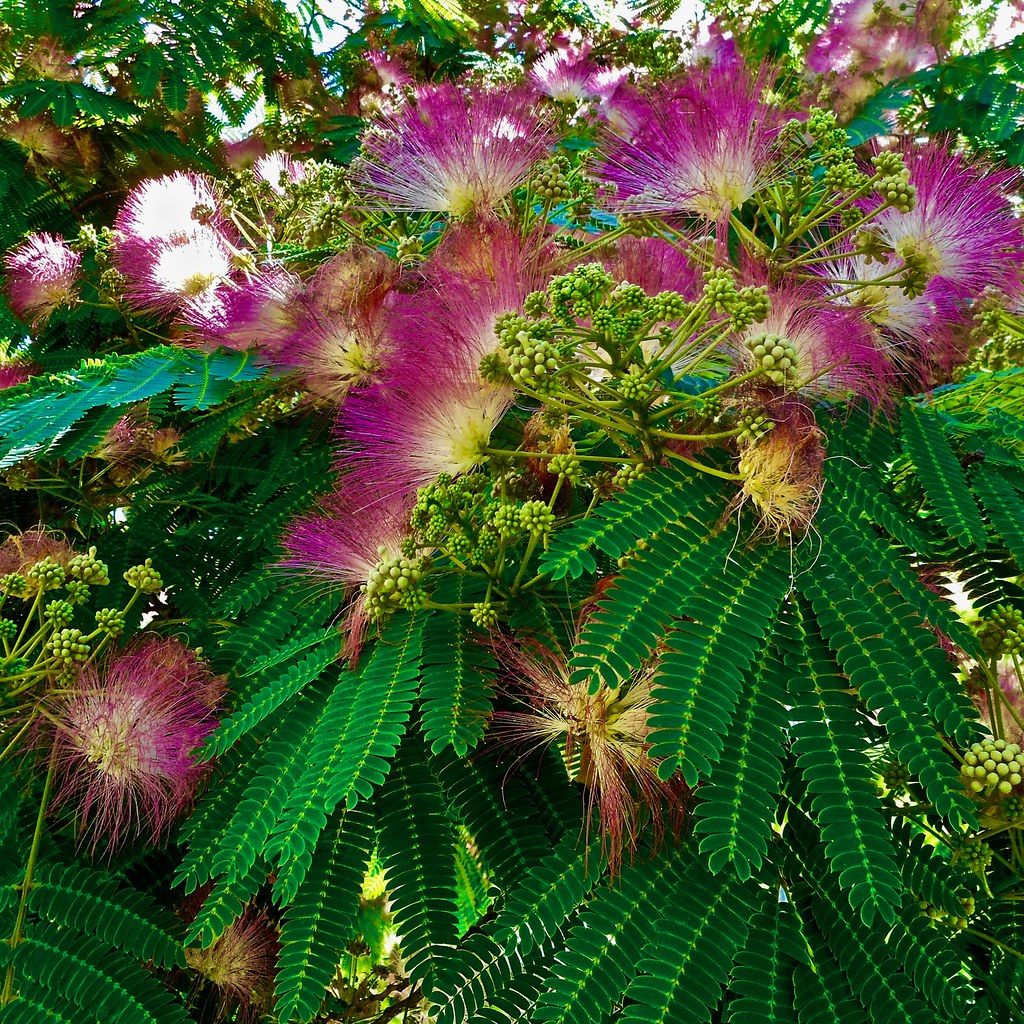 the best attitude c2e1d 95597 The World's Best Photos of albiziajulibrissin and flower ...