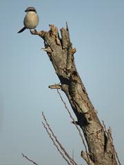 Loggerhead Shrike (stonebird) Tags: loggerheadshrike laniusludovicianus february img7915 ballonawetlandsecologicalreserve areab