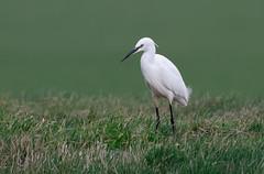 Little Egret (Steve D'Cruze) Tags: little egret egretta nikon d500 sigma 150600mm