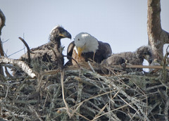 Bald Eagles (TomLamb47) Tags: nature wildlife bird eagle baea eaglet chick nest tree branches canon 7d2 500mm