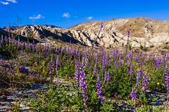 Lots of Lush Lupines (slworking2) Tags: anzaborrego borregosprings california unitedstatesofamerica us anzaborregodesertstatepark desert flowers wildfires lupine blooms purple lupinusarizonicus