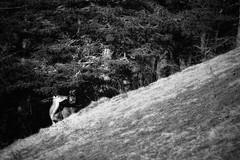 DFL_8105-01 (MILESI FEDERICO) Tags: milesi milesifederico milesifedericofoto federicomilesifoto valsusa valdisusa visitpiedmont valliolimpiche valledisusa visititaly visitvaldisusa piemonte piedmont inmontagna nikon nikond7100 nital iamnikon italia italy europa europe altavallesusa altavaldisusa alpi alpicozie alps alpes salbertrand parconaturalegranbosco parconaturale parchialpicozie cervi cerve cervo mammifero 2018 wild wildlife wildlifephotographer