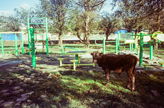 Cattle Playground (hiphopmilk) Tags: copyright©jaredyehwooehmoehfilms konica offroad 現場監督 zoom 35mm 135film film analog analogue jaredyeh hiphopmilk kodak travel china sichuan aba hongyuan qiongxi qiongxizhen tibetan longrang park cattle facility playground