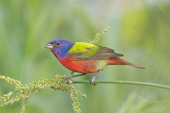 Painted Bunting (Andrew's Wildlife) Tags: painted bunting male